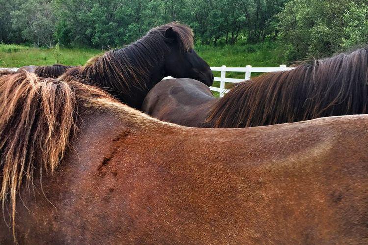 Horses Icelandic Horse Brown Horses Loving Horses Cuddling Horses Livestock Herd