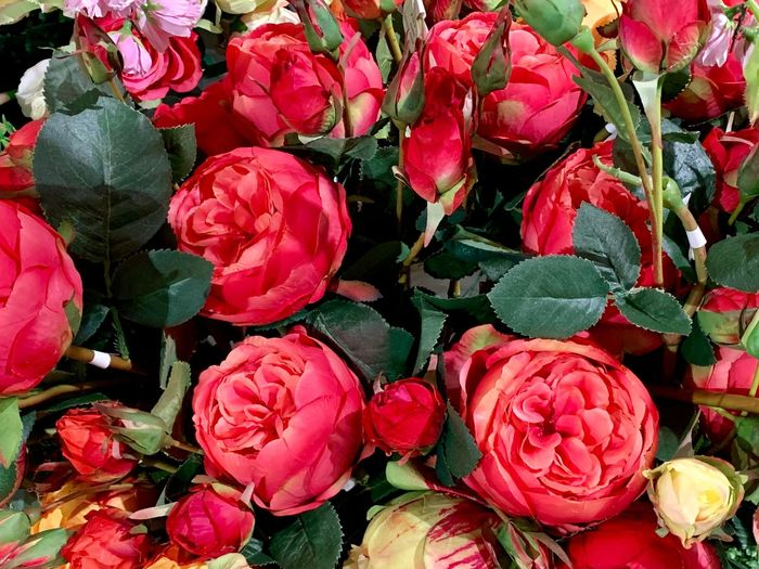 Peony  Freshness Full Frame Plant Flower Flowering Plant Red Beauty In Nature Nature High Angle View Pink Color Close-up No People Day Leaf Backgrounds Plant Part Growth Petal Fruit Rosé