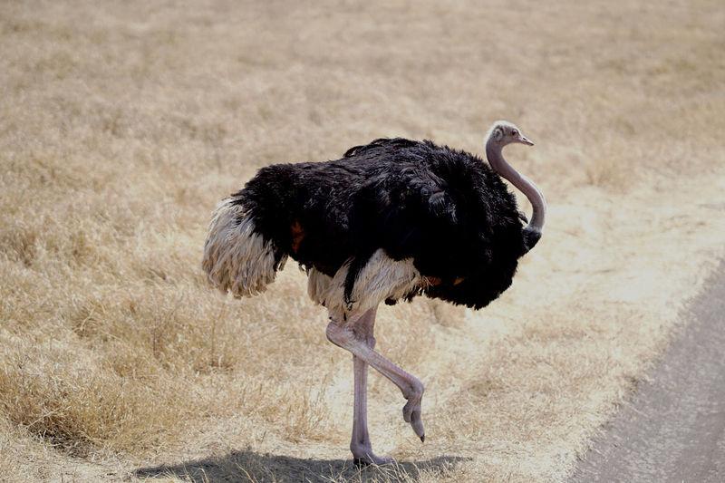 Side view of walking ostrich bird on land