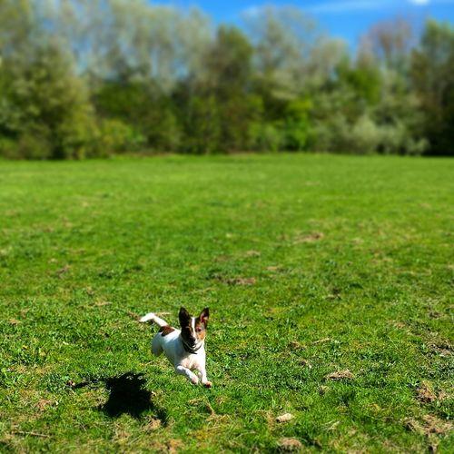 Douglas Douglas Jackrusselterrier Jackrusselllove Dog Ilovemydog Energy Running Free Running Around