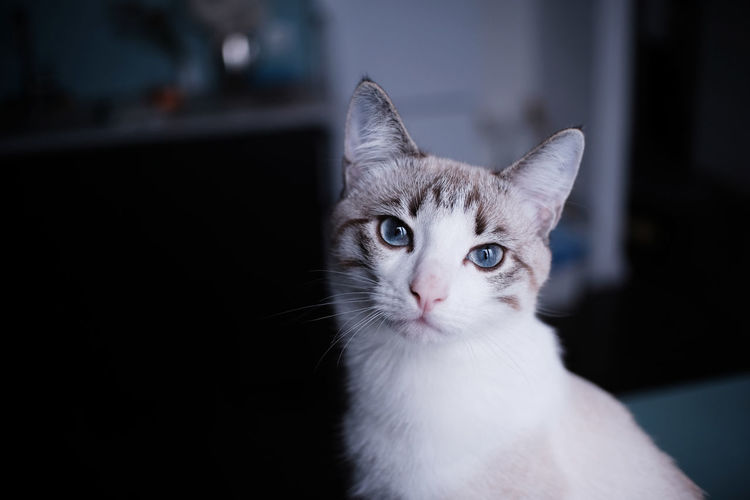 White young cat looks into the camera with blue eyes. split empty space on a dark background