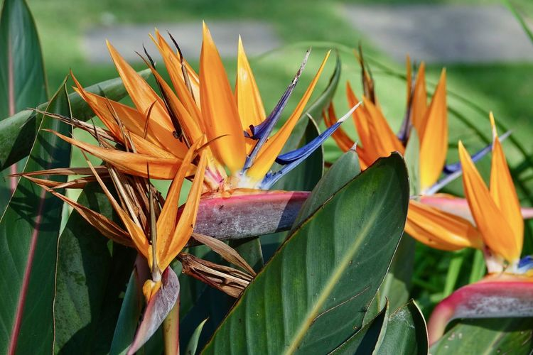 Plant Growth Flower Flowering Plant Freshness Petal Leaf Vulnerability  Beauty In Nature Inflorescence Flower Head Plant Part Close-up Nature Fragility Green Color Bird Of Paradise - Plant Day No People Orange Color