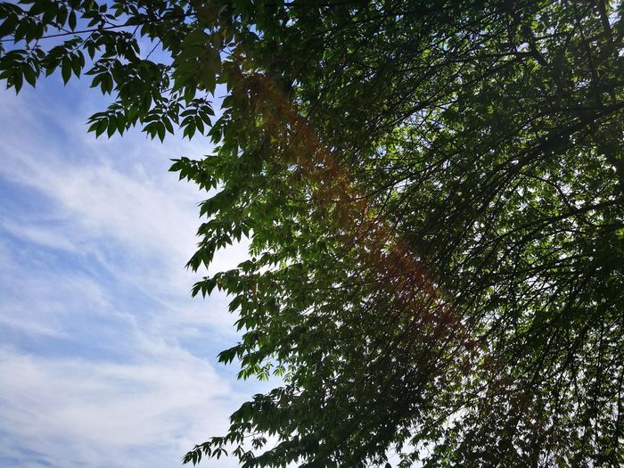Tree Low Angle View Branch Nature Growth Sky Green Color Outdoors No People Beauty In Nature Leaf Day Tree Area Close-up Malaysian Cherry Cherry Tree P9 Huawei Summer Field Grass The Purist (no Edit, No Filter)