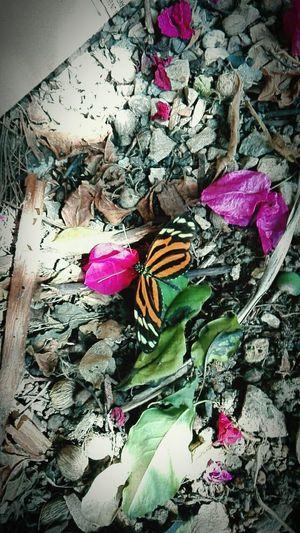 Animal Love Mariposa En La Naturaleza Butterfly - Insect Flower Multi Colored Photooftheday Capture The Moment Huawei P8 Lite. EyeemVeracruz Beauty In Nature EyeEm Nature Lover Photo♡