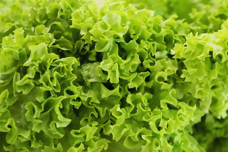 Green coral leaf Green Salad Abundance Backgrounds Beauty In Nature Close-up Coral Leaf Day Food Freshness Full Frame Green Color Growth Healthy Eating Leaf Nature No People Outdoors Pattern Plant Texture Vegan Vegatarian Vegetable