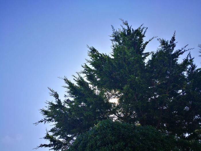 Tree Low Angle View Nature Sky No People Growth Green Color Branch Outdoors Day Pine Tree Beauty In Nature Blue Clear Sky Tree Area Freshness