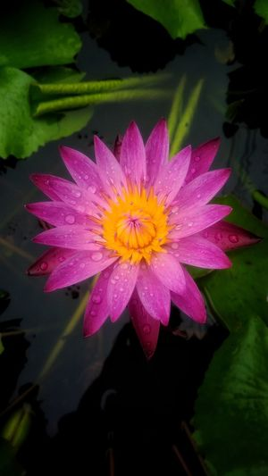 Beautiful pink lotus Flower Freshness Lotus Nature Beauty In Nature Floral Beautiful Nature Colorfulflower Flora Colorful Blossomflower Blossom Fresh Pinklotus Pinkflower Pink Color