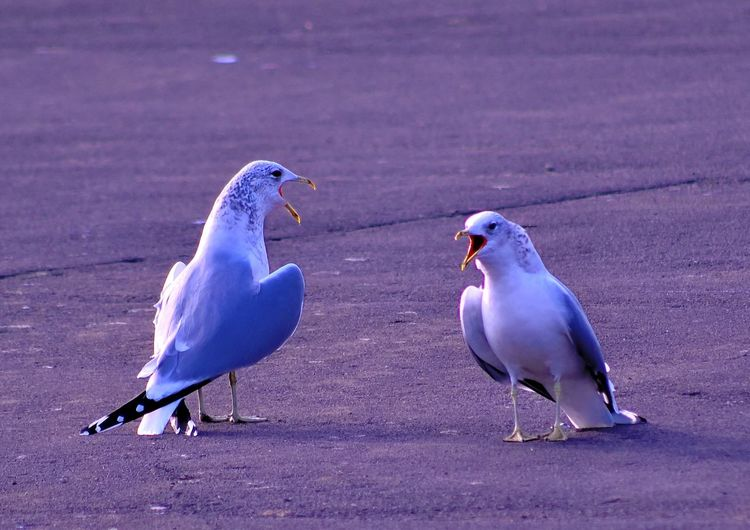 Two seagulls on the ground