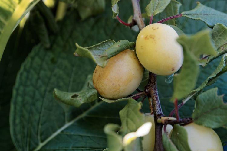 Close-Up Of Sapodilla Fruits Growing On Tree