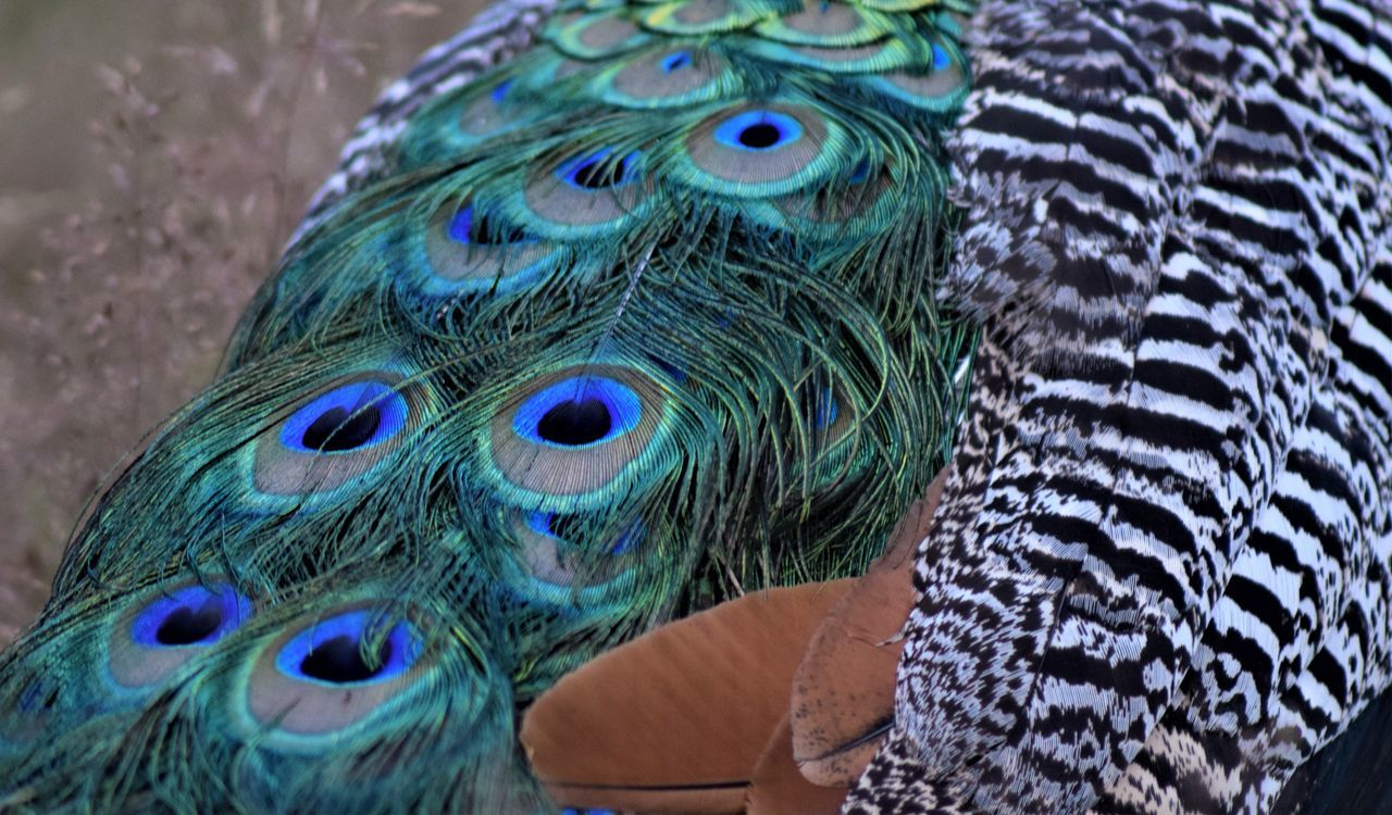 peacock, bird, peacock feather, animal themes, one animal, feather, close-up, animal wildlife, animals in the wild, multi colored, animal head, no people, beak, fanned out, animal crest, nature, day, outdoors, beauty in nature