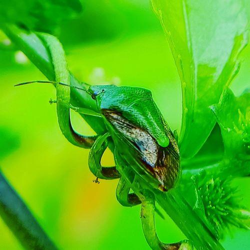stinge bug