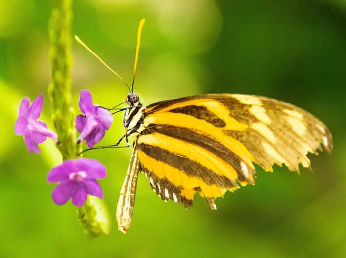 Butterfly - Insect Butterfly ❤ Yellow Green Butterfly Nature Feeding  Tranquil Peaceful