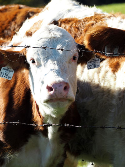 Animal Themes Cattle Close-up Cow Day Domestic Animals Domesticated Animal Tag Farm Animal Livestock Looking At Camera Mammal Nature No People One Animal Outdoors Portrait