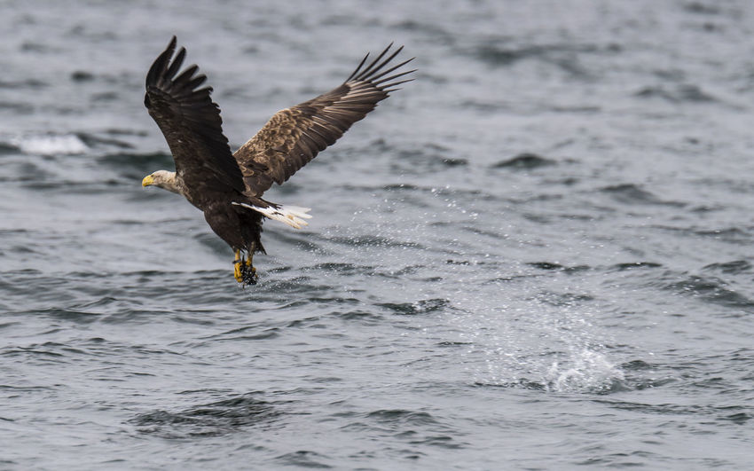 Sea eagle flying over sea