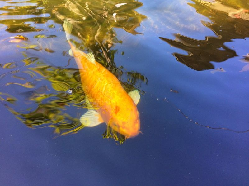 fancy carp fish in pool Animal Garden Pool Water Colorful Colors Color Fancy Carp Fish Fancy Carp Carp Fish Carp Water Swimming Fish Animal Themes Animals In The Wild Carp Nature Outdoors Day