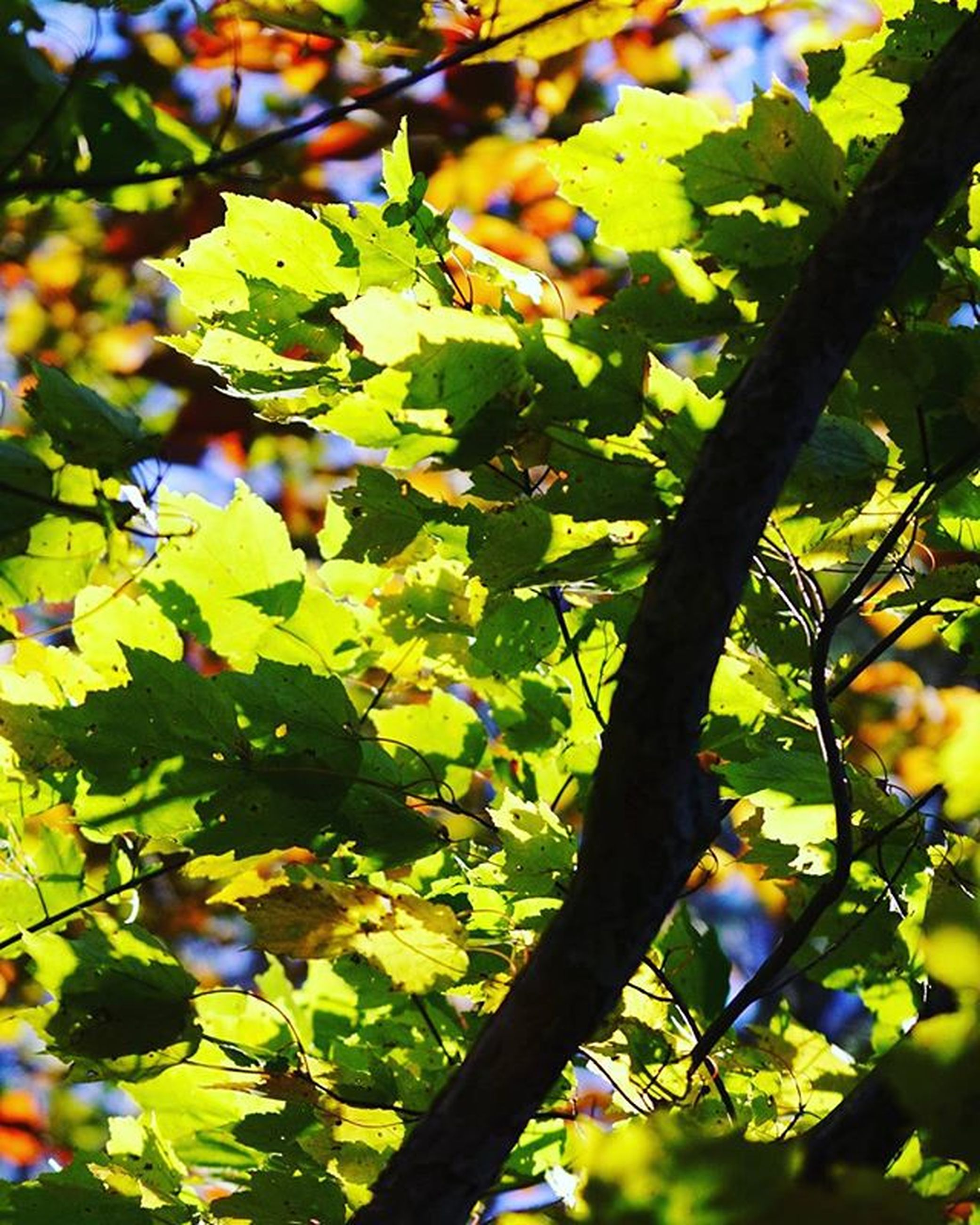 tree, branch, leaf, growth, low angle view, nature, green color, focus on foreground, close-up, beauty in nature, sunlight, day, outdoors, tranquility, freshness, no people, fruit, twig, selective focus, autumn