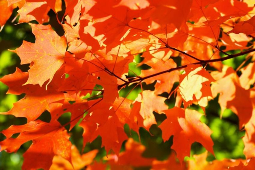 Stunning Fall Beauty Maple Leaf Orange Oh Canada.. Autumn Change EyeEm Best Shots - Nature Beautiful Nature Colors Autumn Leaves