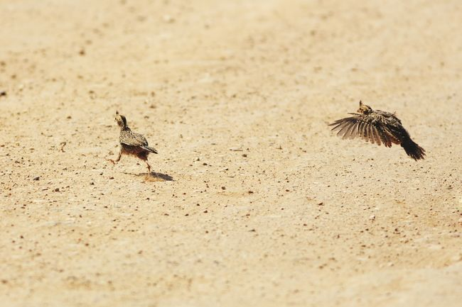 Baby quail crossing the road Quail Funny Cute Bird Wildlife Road Utah Gambel's Quail