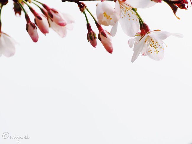 ソメイヨシノ 札幌もやっと開花! Cherry Blossoms EyeEm Nature Lover Flowerporn Flowers Spring Sapporo