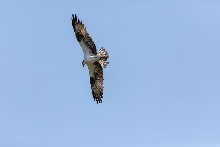 Low angle view of eagle flying against clear blue sky