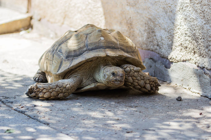 Earthen turtle crawling in the early morning on the track Animal Animal Themes Animal Wildlife Calculus Close-up Crawling Day Early Earthen Lying Down Morning Nature No People Outdoors Rareripe Relaxation Resting Testudinate Testudo Tortoise Tortoiseshell Track Turtle Turtle-shell Wildlife