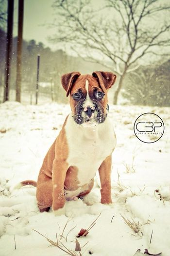 Bruno's first snow :) Boxer Dogs Pet Photography  Snow Curtisbphotos