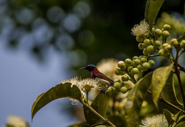 Sunbird in