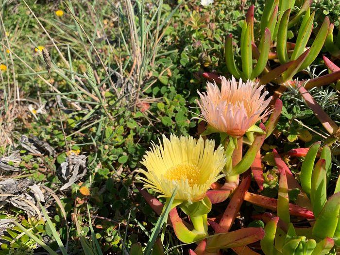 Magoito 1 Plant