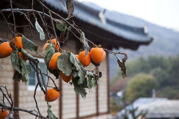 Nongae birth place, Jangsugun, Jeonlabukdo, South Korea Autumn Branch Close-up Day Fall Fall Beauty Focus On Foreground Folk Village Food Food And Drink Freshness Fruit Fruits Growth Nature No People Outdoors Persimmon Persimmons Rural Landscape Rural Scene Tree