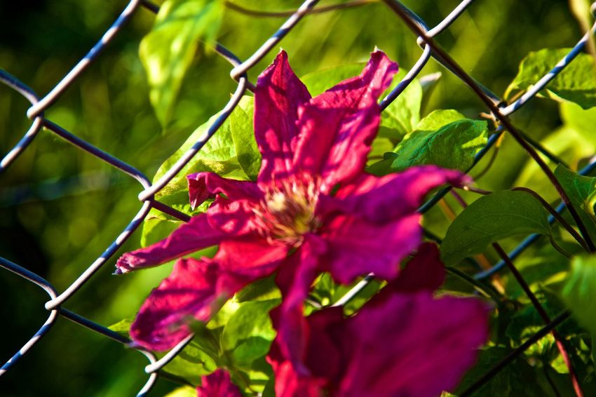 Beauty In Nature Clamatis Close-up Flower Flower Head Fragility Freshness Growth Leaf Nature No People Outdoors Petal Plant Red
