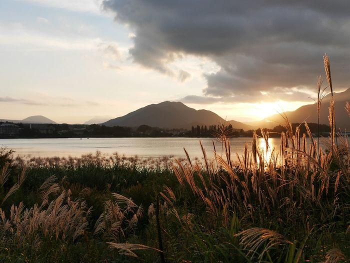 Japan 河口湖 Reed Reedy Grass Lake Estuarine Lake