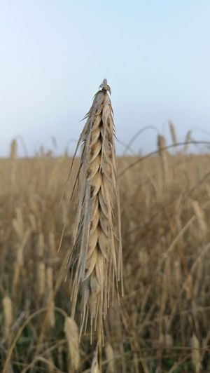 Crop  Growth Agriculture Field Wheat Close-up Plant Nature Farm Foggy Sky Brown Rural Scene Cereal Plant Beauty In Nature Nature