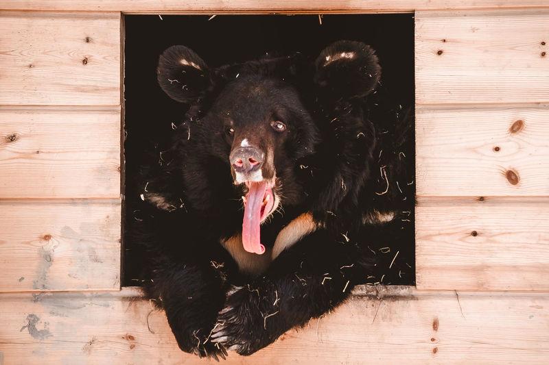 Portrait of black dog on wood