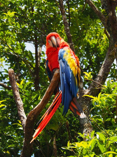 Nature - Birds Animal Themes Animal Bird Animals In The Wild Vertebrate Animal Wildlife One Animal Day No People Outdoors Costa Rica Nature On Your Doorstep Nature Photography EyeEm Nature Lover Beauty In Nature One Bird Low Angle View Macaw Tree Branch Perching Scarlet Macaw Plant Nature