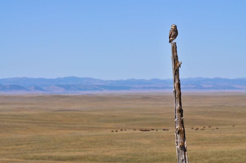 Bird Raptor Bird Of Prey Owl Burrowing Owl Pole Post Dead Tree Perching Black Hills South Dakota Grassland Plains Prairie Cattle Livestock Ranch Grazing Big Sky Wildlife Nature Landscape Environment No People Wooden Post