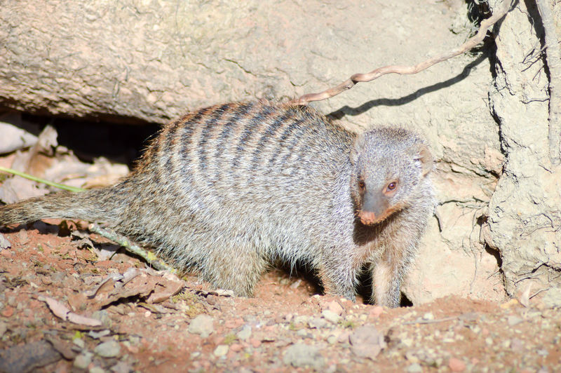 High Angle View Of Banded Mongoose By Rock On Field