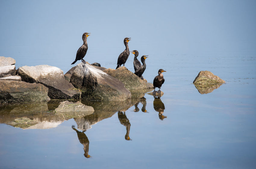 Cormorant  Animal Themes Animal Wildlife Animals In The Wild Beauty In Nature Bird Cormorant  Day Lake Nature No People Outdoors Pelican Perching Reflection Sky Water Waterfront