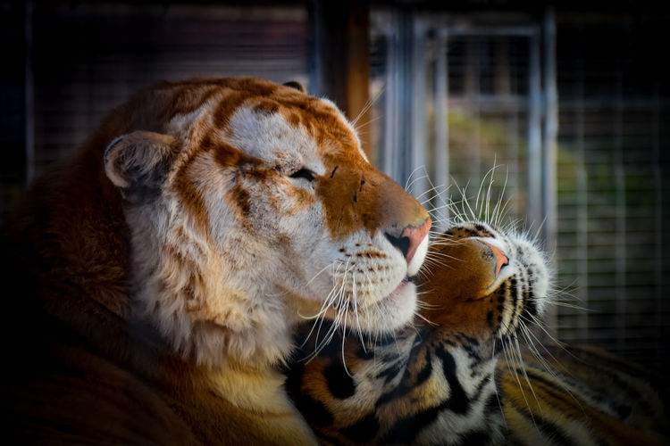 Cuddle Love Cuddles Cuddling Love Trapped Close-up Cage Captivity Animals In Captivity Tiger Big Cat Feline Whisker