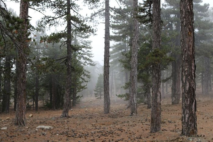 Forest Pine Tree Scenic View Nature Fog Small Tree Rocks Troodos Cyprus Nature Photography Naturelovers Nature Beauty Nature_collection Natural Beauty Wild Plant Forest Trees Tree Forest Photography Nature_ Collection  Naturelover Natural Naturephotography Nature_perfection Nature Collection Mountain