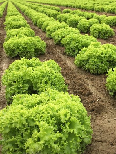 Salad Fresh Feld Lollo Bionda Green Color Vegetable Freshness No People