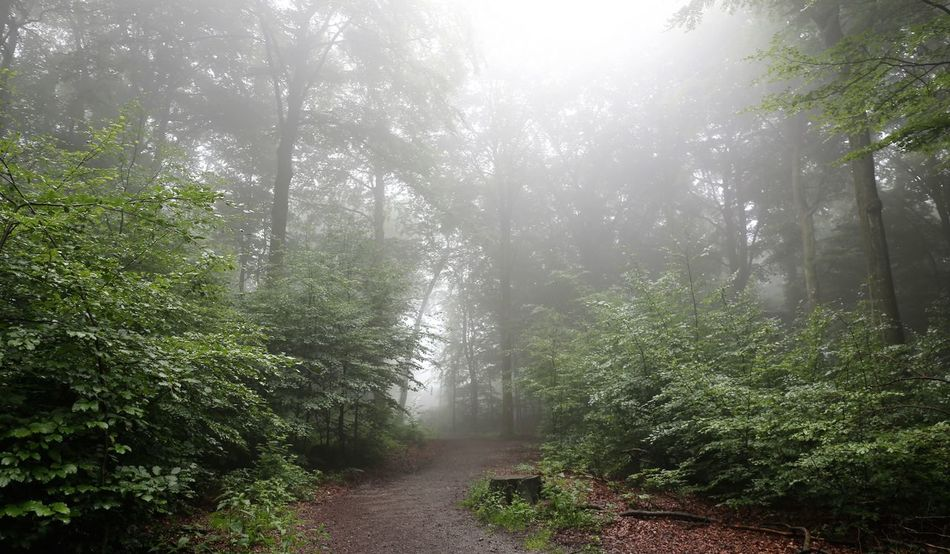 Foggy Forest Beauty In Nature Day Fog Fog In The Trees Foggy Foggy Day Foggy Forest Foggy Landscape Foggy Morning Foggy Weather Fogporn Forest Forest Park Forest Path Forest Photography Forest Trees Growth Melodramatic Nature Nebel No People Outdoors Tree Vernebelt Weather Condition