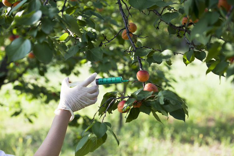 Genetically modified fruit. Non-organic fruit. Apricot GM Fruit GMO Genetically Modified Foods Injection Agriculture Agronomy Biotechnology Concept Danger Food Food Coloring Fruit Genetic Engineering Genetically Modified Organism Health Holding Human Hand Injecting Manipulation Nature Non-organic Protectiv Glove Safety Test