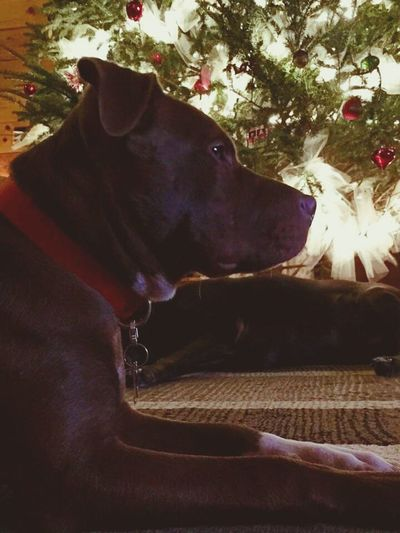 His first christmas First Christmas Pitbull Pitbull Lives Matter Christmas Lights Christmas Decorations Christmas Tree Lover Not A Fighter Dog Love In Deep Thought