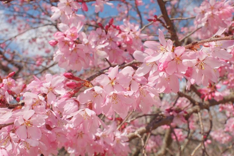 Sakura Nature_collection EyeEm Nature Lover Pink Color Plant Flower Fragility Flowering Plant Tree Beauty In Nature Springtime Cherry Blossom Close-up Freshness Vulnerability  No People Nature