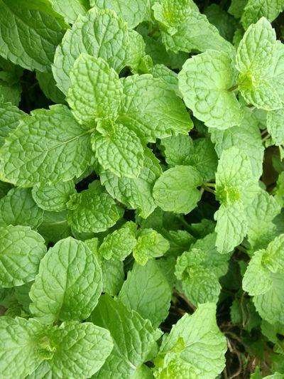 香料薄荷 薄荷 葉子 綠色
