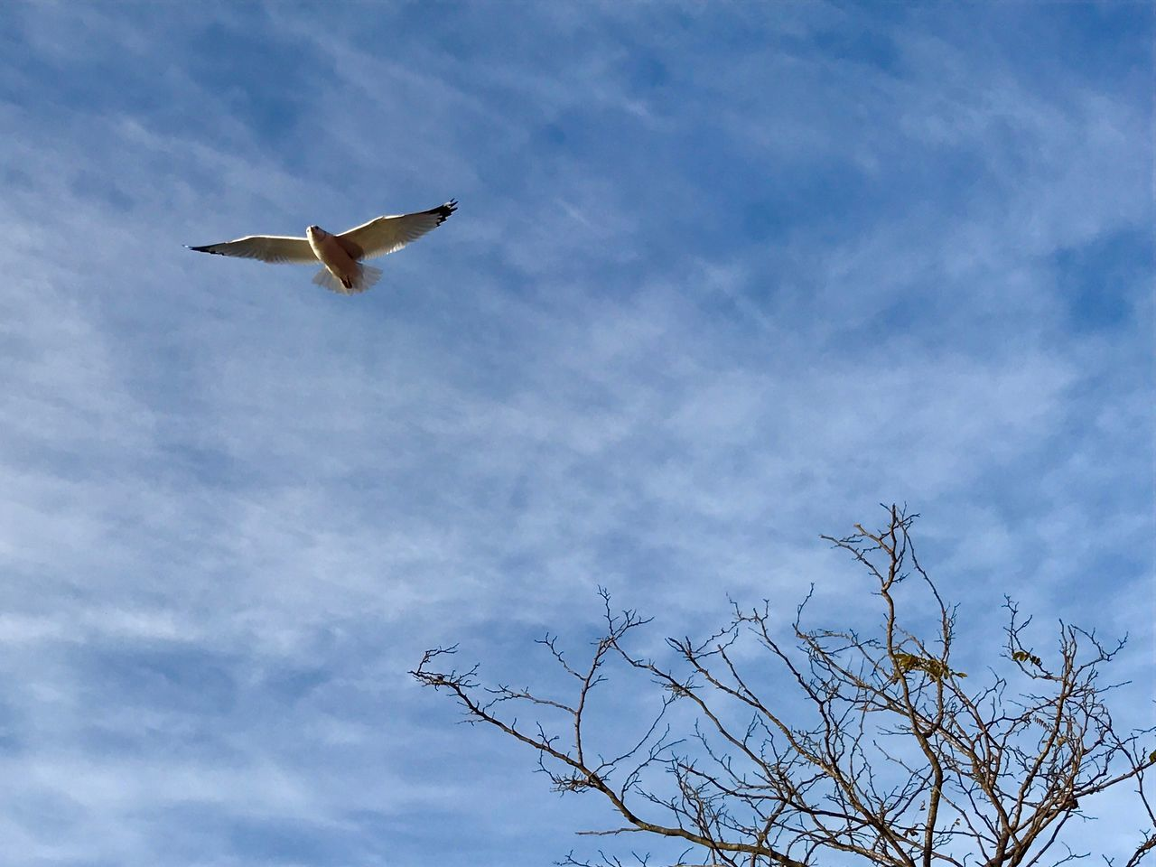 bird, animal themes, animals in the wild, flying, one animal, low angle view, spread wings, sky, animal wildlife, day, cloud - sky, nature, mid-air, outdoors, no people, tree, beauty in nature, bird of prey