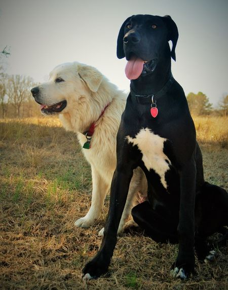 Farm Photos Domestic Animals Outdoors Pets Dog Happy Puppy Animals Winter White Color Cute Pets Nature Photography Countryside Great Dane Great Pyrenees Animal Photography Rural Scene Puppy Photography Outdoor Photography Sweet Puppy Face. Cute Outside Photography Portrait Day Puppy Pic Nature
