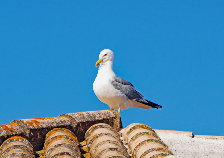 Low angle view of seagull perching on roof against clear blue sky
