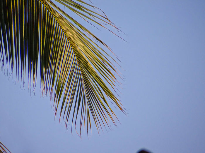 THE COCONUT PALM TREE FROND Green Frond Against Blue Sky Branches Of Trees Nature Lush Foliage Lush - Description Greenery Coconut Palm Tree Frond Blue Clear Sky Sky Green Countryside