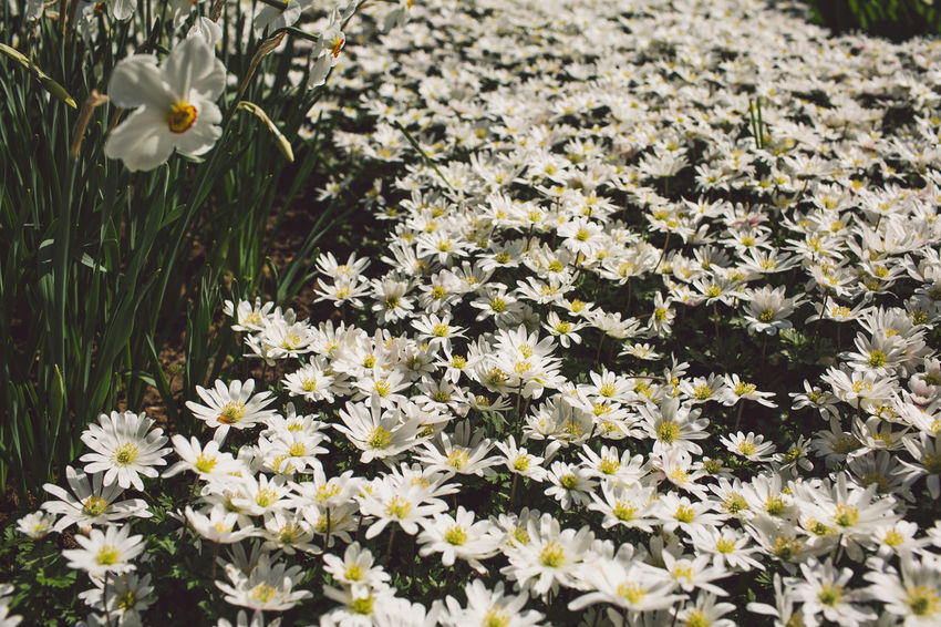 Flowering Plant Flower Flower Collection Flower Head Flowers Narcissus Outdoors White